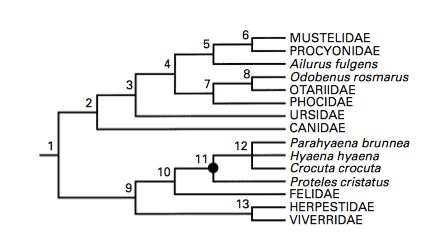 figure 1  the phylogenic tree of the carnivora showing the placement of the  mustelidae within